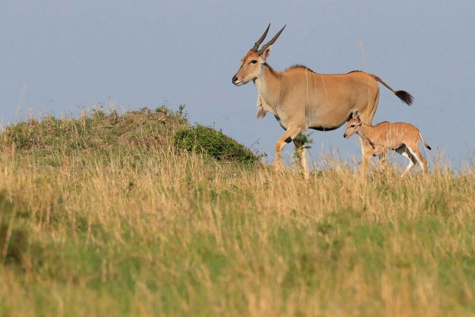 Tag 8 Elenantilopen am Horizont der Savanne