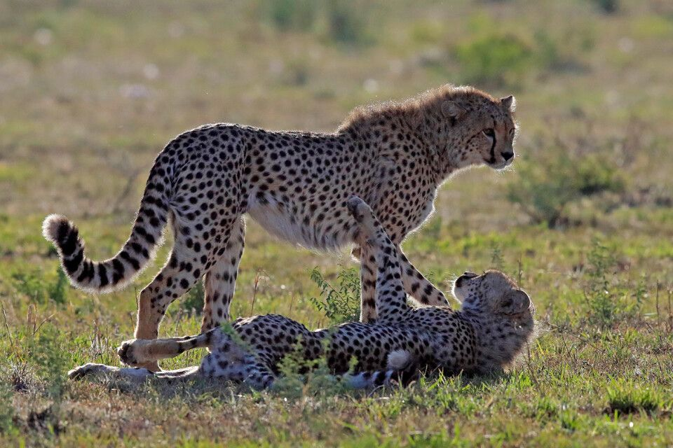 Tag 5 Geparden beim morgendlichen Spiel