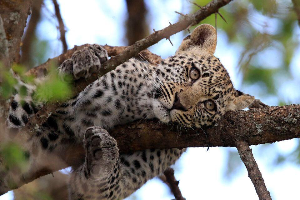 Tag 1 junger Leopard räkelt sich auf einem Baum