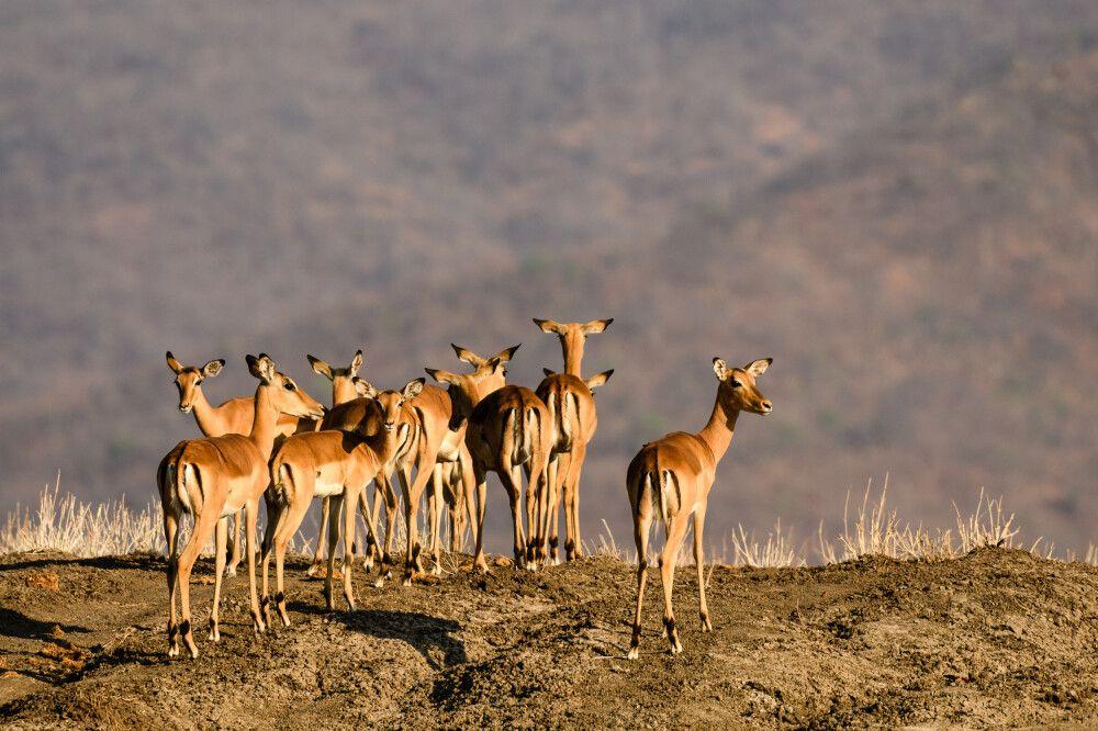 Impalas im Morgenlicht, Lower-Zambezi-NP, Sambia