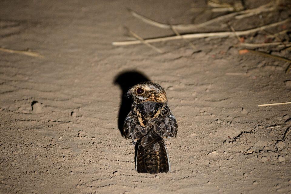 Welwitsch-Nachtschwalbe, South-Luangwa-NP, Sambia