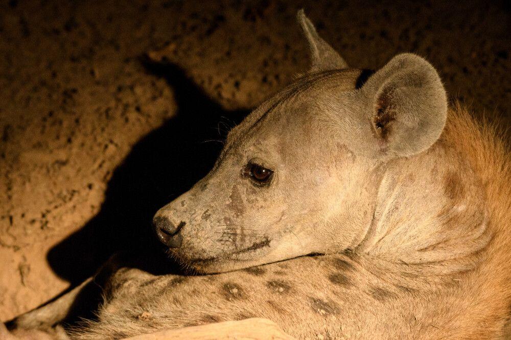 Nächtliches Hyänenporträt, South-Luangwa-NP, Sambia