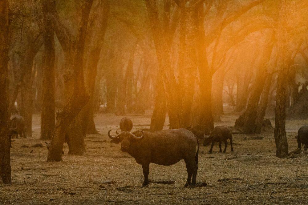 Büffel im abendlichen Gegenlicht, Lower-Zambezi-NP, Sambia