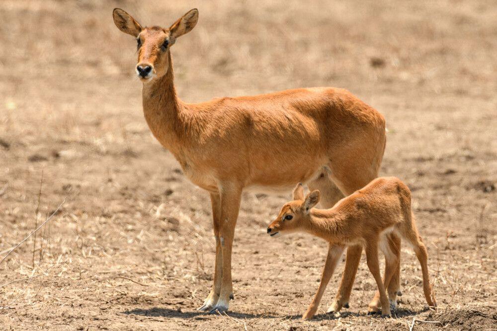 Puku-Antilope mit Jungtier, South-Luangwa-NP, Sambia