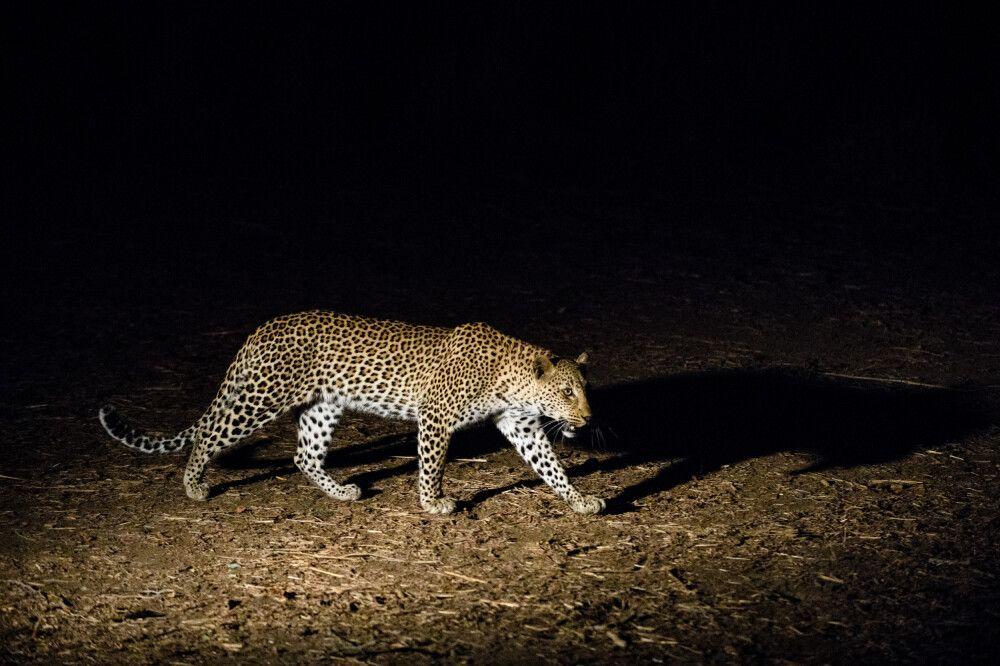 Leopard auf nächtlichem Streifzug, Lower-Zambezi-NP, Sambia