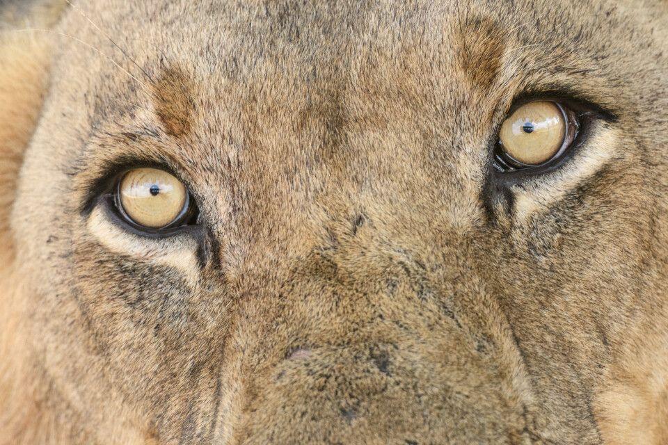 Löwenporträt, South-Luangwa-NP, Sambia