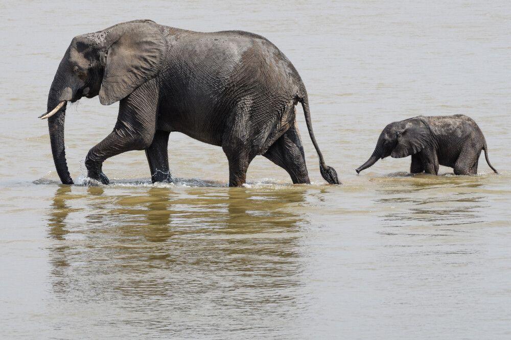 Elefanten bei der Flussquerung, South-Luangwa-NP, Sambia