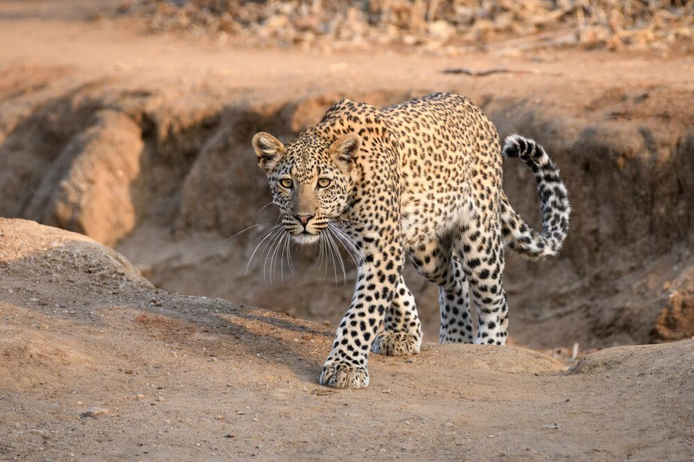Im Morgenlicht: Leopard im Lower-Zambezi-Nationalpark, Sambia