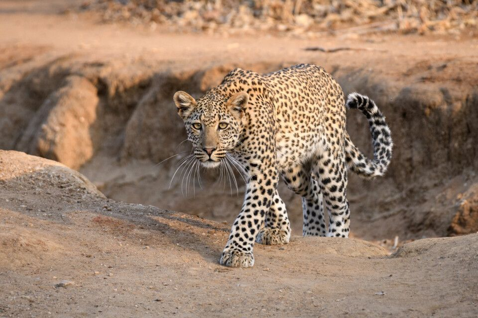 Im Morgenlicht: Leopard im Lower-Zambezi-Nationalpark, Sambia