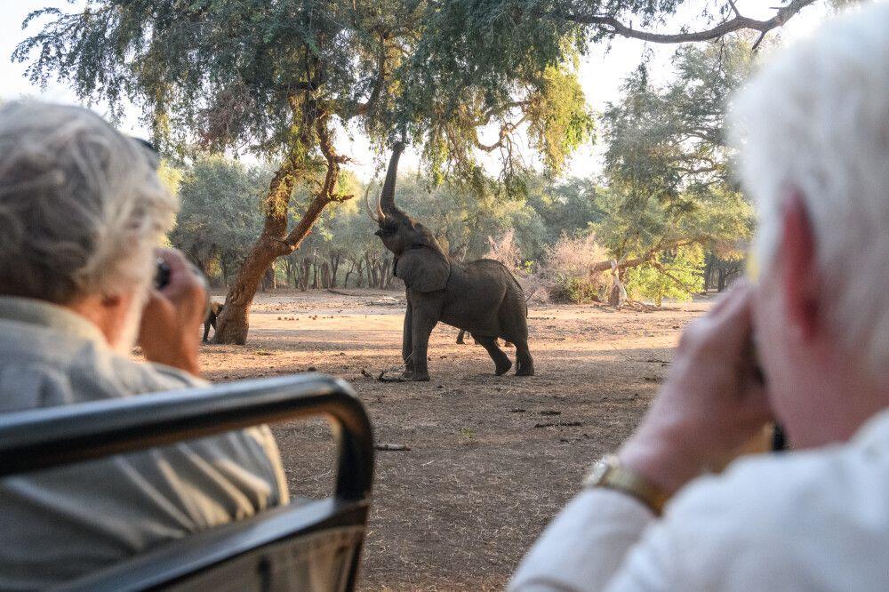 Elefant am Akazienbuffet, Lower-Zambezi-NP, Sambia