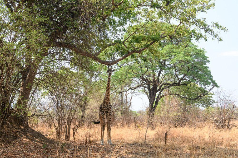 Auch Giraffen können sich in der Landschaft verstecken – fast. South-Luangwa-NP, Sambia