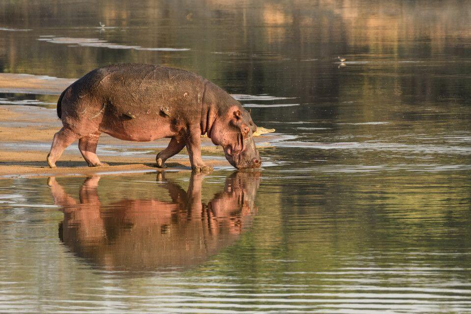 Flusspferd auf dem Rückzug in sichere Gewässer, South-Luangwa-NP, Sambia