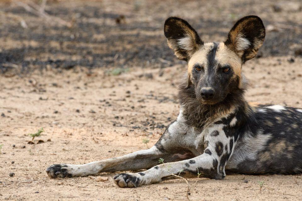 Afrikanischer Wildhund, South-Luangwa-NP, Sambia