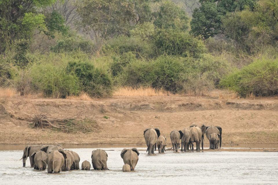 Eine Elefantenherde durchquert den Luangwa-Fluss, South-Luangwa-NP, Sambia