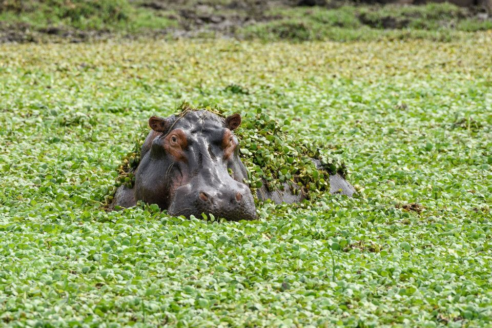 Aufgetaucht: Flusspferd inmitten von Wasserhyazinthen, Lower-Zambezi-NP, Sambia