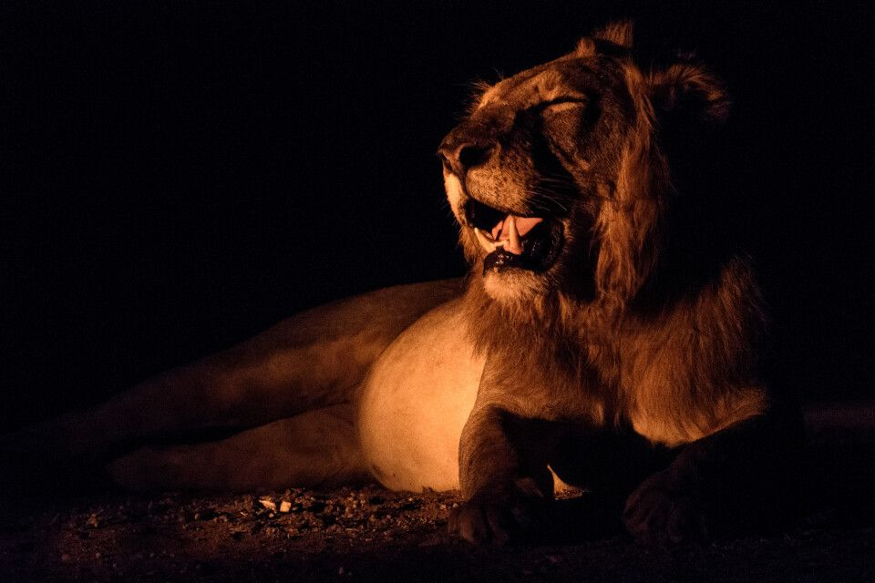 Voller Bauch braucht Ruhe: Löwenmännchen, Lower-Zambezi-NP, Sambia