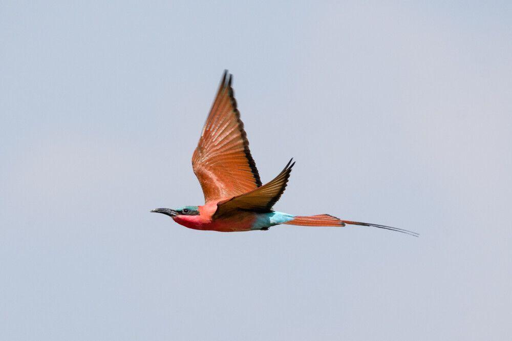 Scharlachspint, South-Luangwa-NP, Sambia