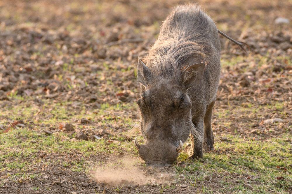 Ein Warzenschwein wühlt nach Fressbarem, South-Luangwa-NP, Sambia