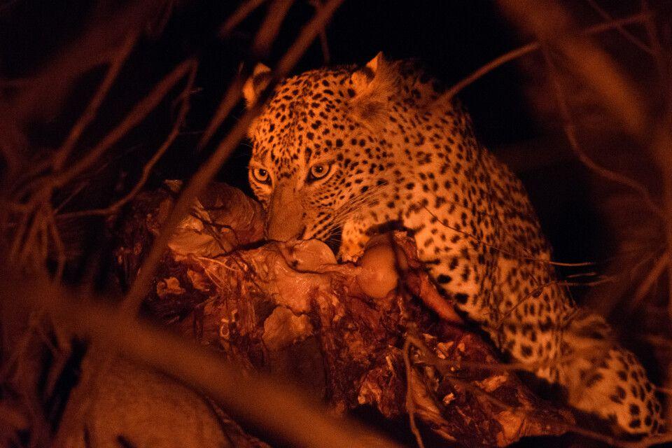 Ein Leopard tut sich an einem Büffelkadaver gütlich, Lower-Zambezi-NP, Sambia