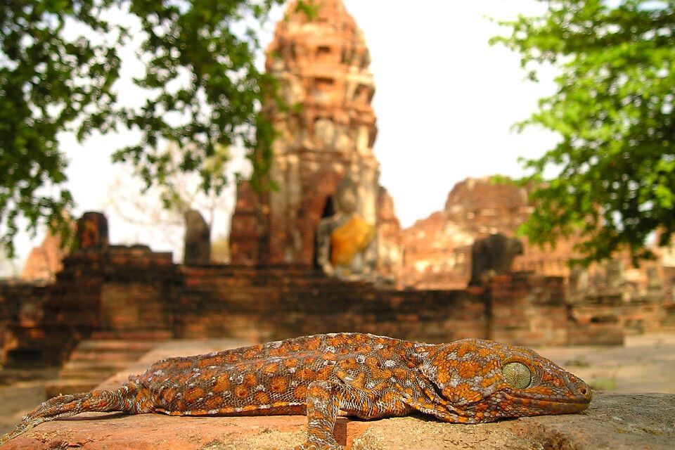 Gecko in Angkor