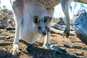 Australiens bekannteste Beuteltiere - die Kängurus