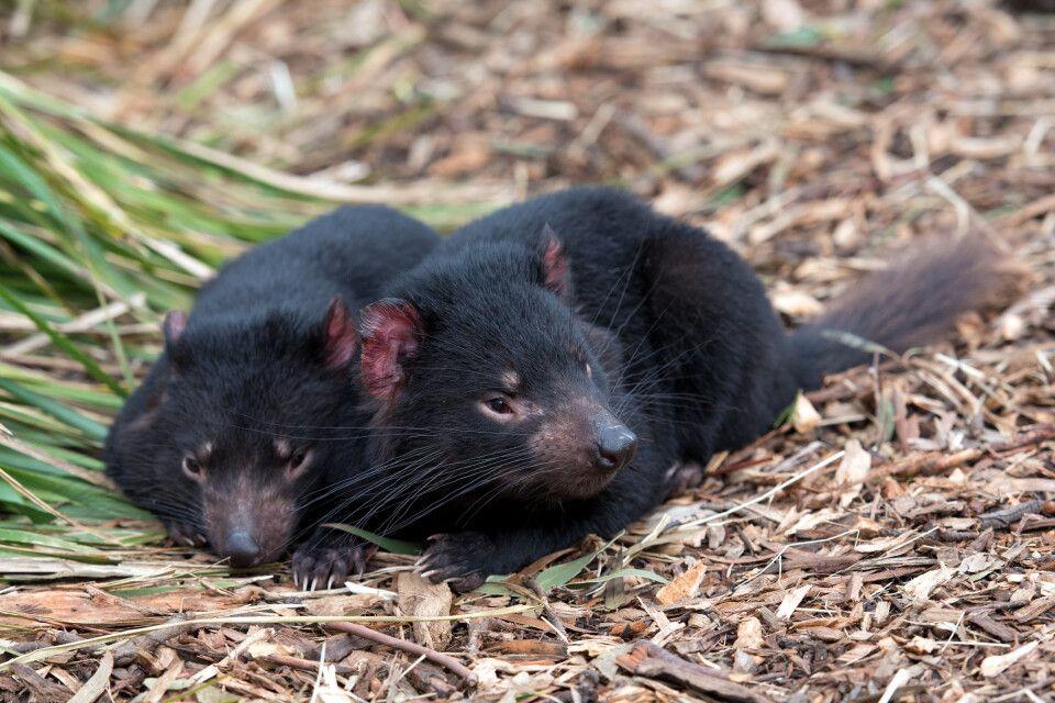 Zwei Tasmanische Teufel