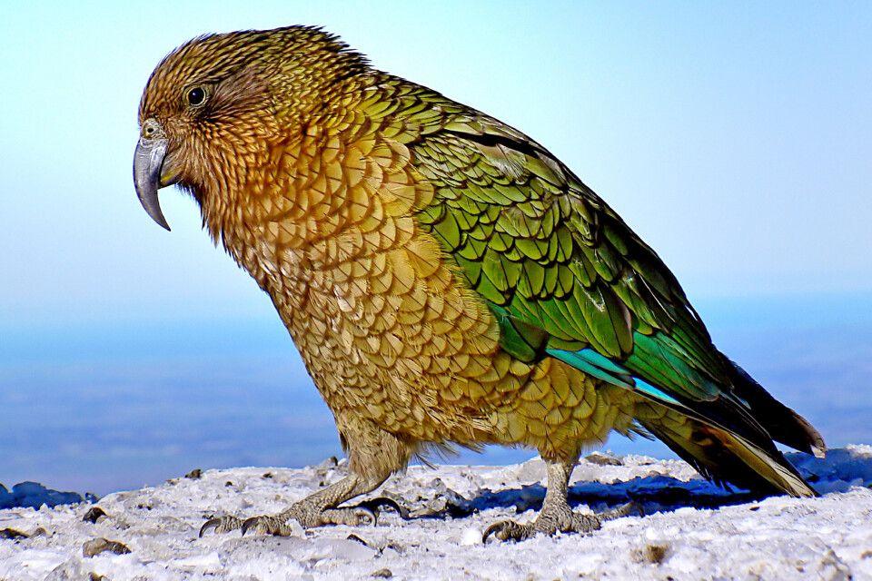 Der Kea zuweilen auch Bergpapagei genannt, ist ein vom Aussterben bedrohter Vogel Neuseelands.