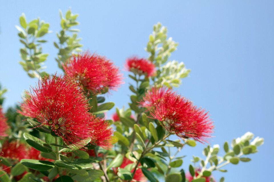 Die Blüten des Pohutukawa-Baumes, des Eisenholzbaumes oder auch Neuseeländischer Weihnachtsbaum
