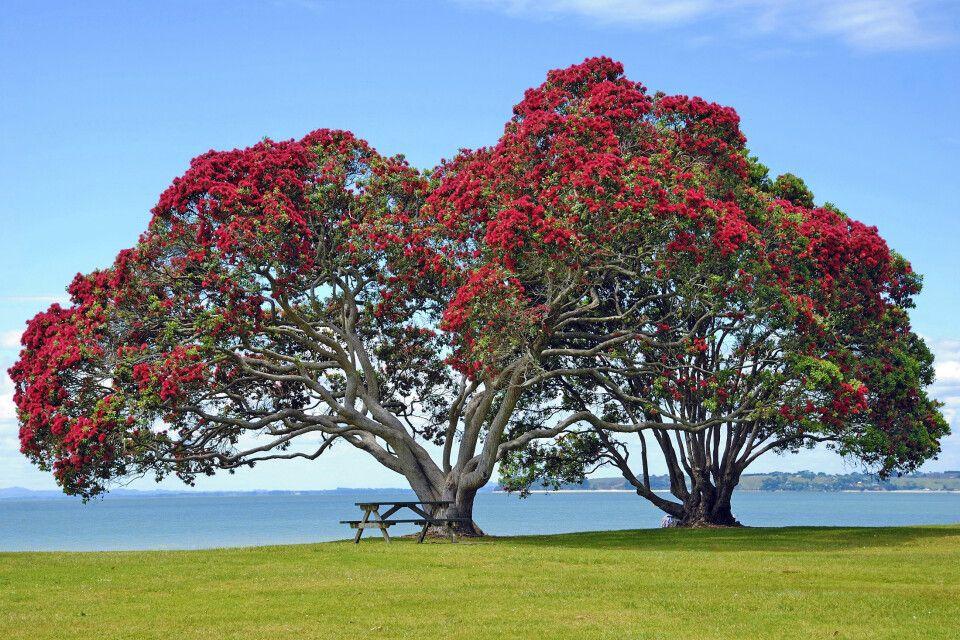Zwei riesige Pohutukawa-Bäume, auch  Eisenholzbaum oder Neuseeländischer Weihnachtsbaum