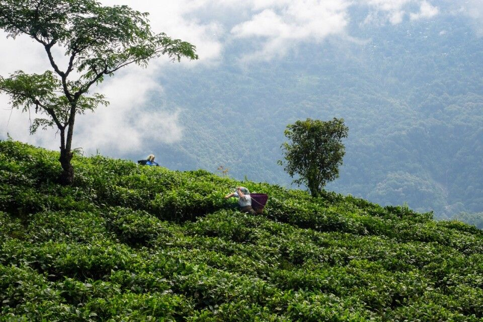 Teeplantagen Darjeeling