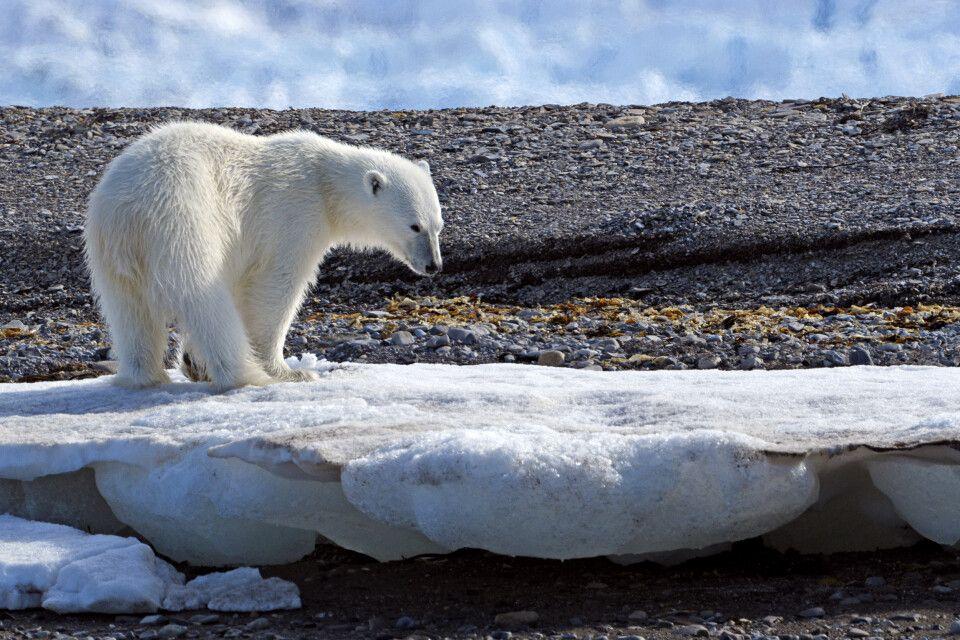 Begegnung auf Augenhöhe – Eisbärin fotografiert aus dem Zodiac