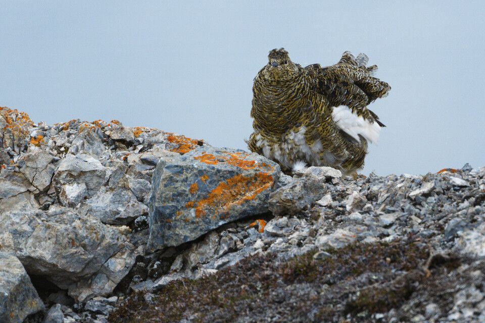 Auch auf Spitzbergen anzutreffen – das Alpenschneehuhn