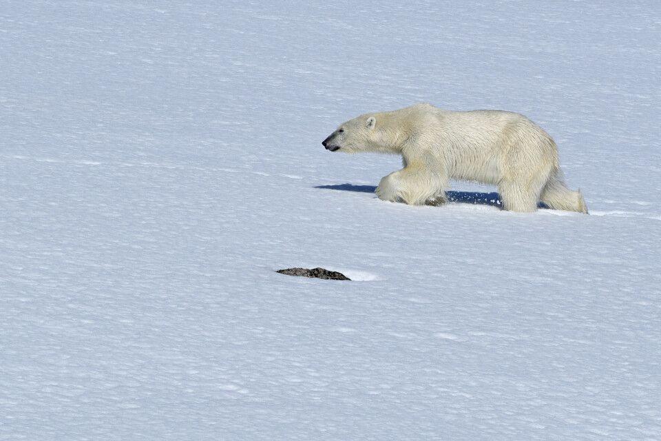 Eisbär – fotografiert während einer Zodiactour vor Smeerenburg
