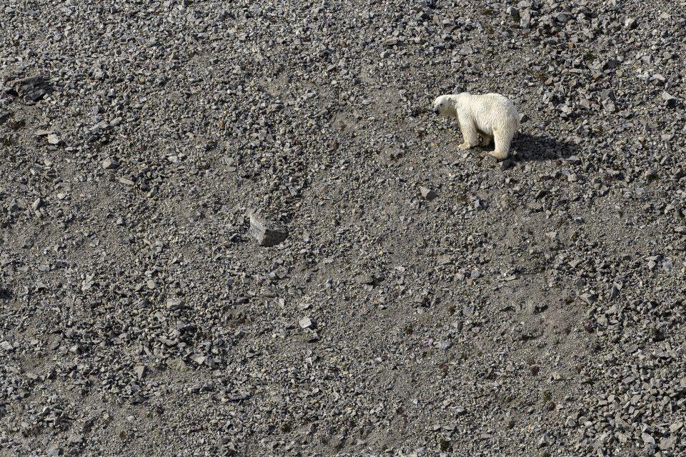 Eisbär an der Küste des Billefjord