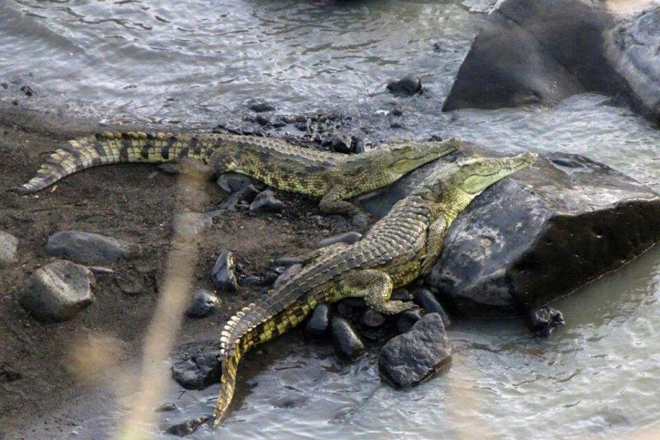 DANAKIL Reisebericht Ulrike Almer - Krokodile im Awash NP