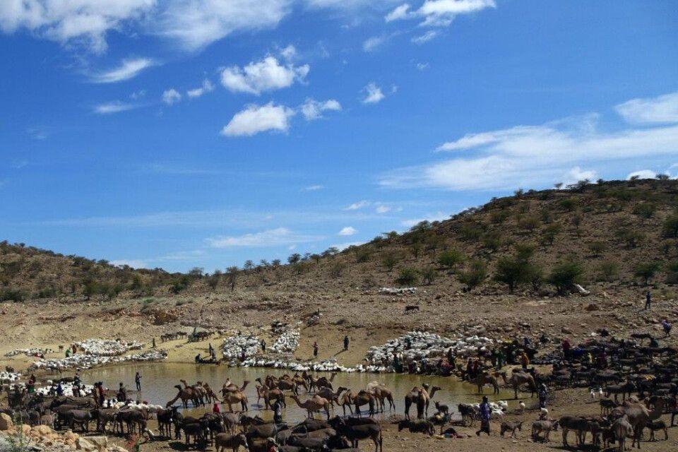 DANAKIL Reisebericht Ulrike Almer - Vieh am Wasserloch