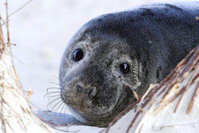 Große Augen, kleine Robbe