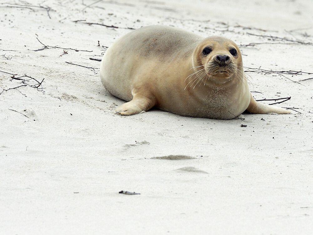 Kegelrobbe am Strand