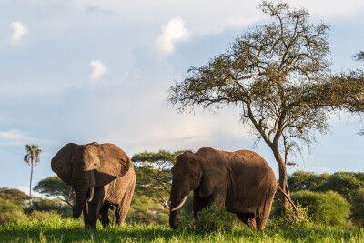 Elefanten im Tarangire-Nationalpark, Tansania