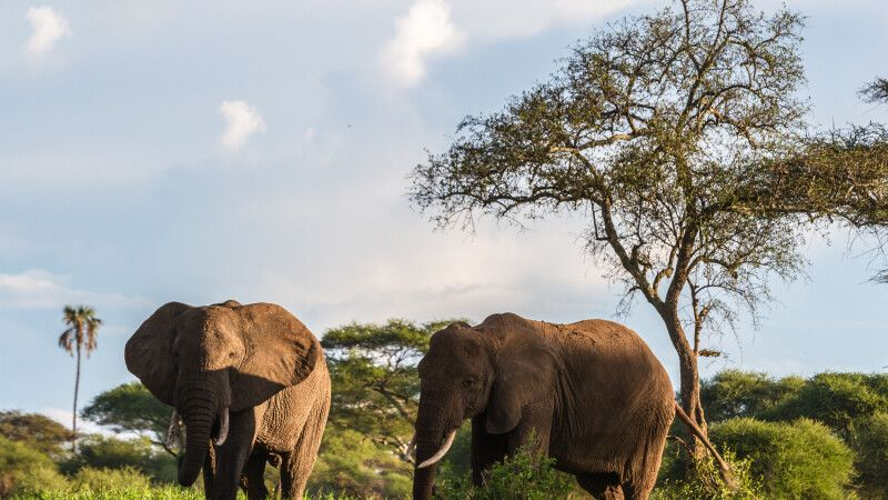Elefanten im Tarangire-Nationalpark, Tansania © Diamir