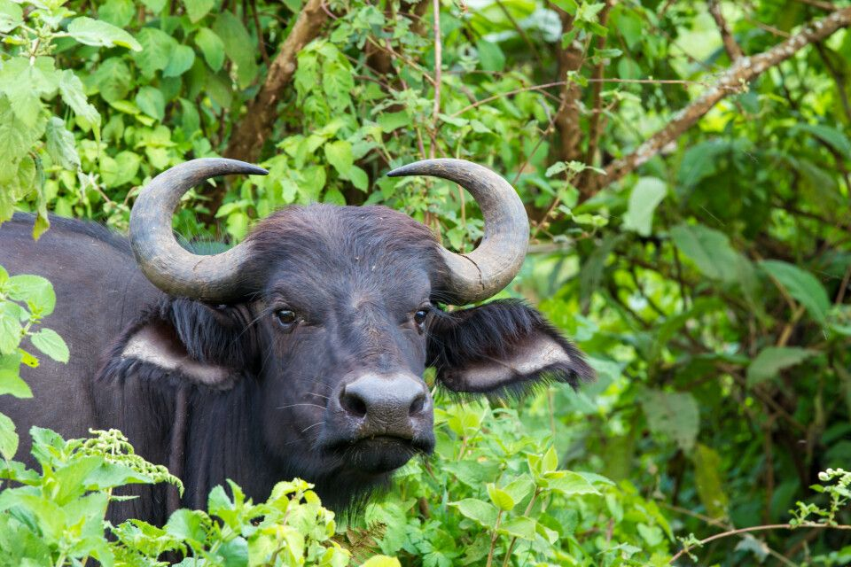 Kafferbüffel im Ngorongoro-Krater, Tansania
