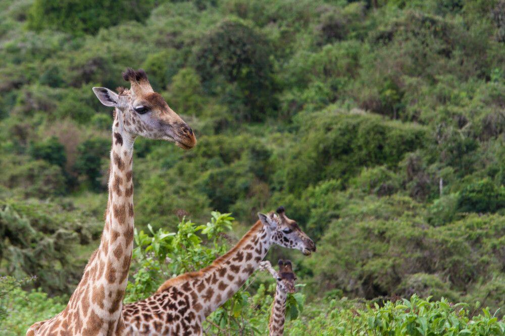 Giraffen im Ngorongoro-Krater, Tansania