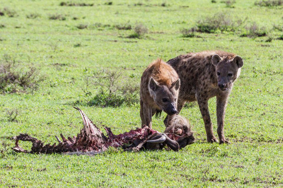 Hyänen im Serengeti-Nationalpark, Tansania