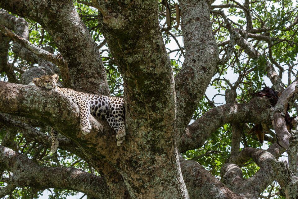 Ein Leopard mit Beute auf einem Baum im Serengeti-Nationalpark,