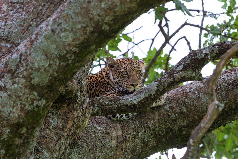 Ein Leopard ruht nach der Jagd im Serengeti-Nationalpark, Tansan