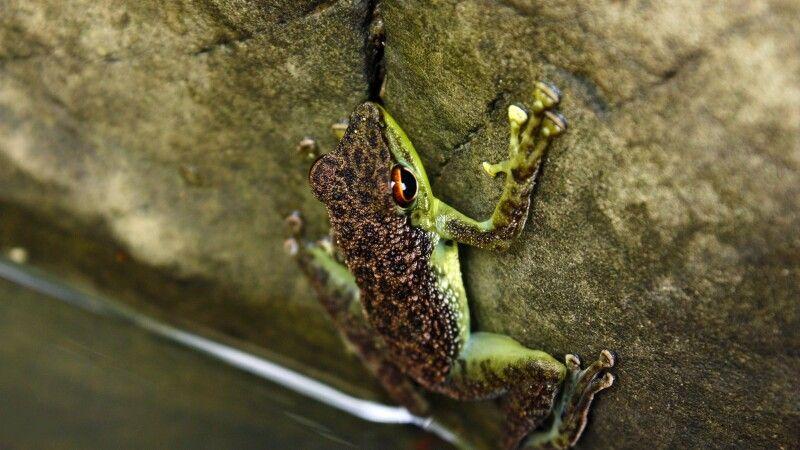 Frosch im Tabin-Reservat, Schutzgebiet seit 1984 im malayischen Bundesstaat Sabah © Diamir