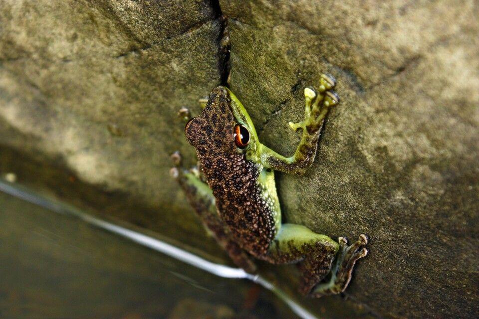 Frosch im Tabin-Reservat, Schutzgebiet seit 1984 im malayischen Bundesstaat Sabah