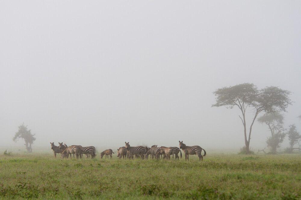 Zebras im Morgennebel der Regenzeit im Grumeti MWA