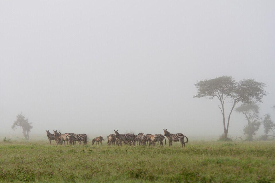 Zebras im Morgennebel der Regenzeit
