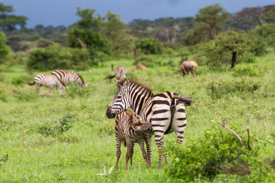 Ein Zebra säugt sein Junges